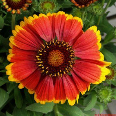 Flutureii, florile ce seamana cu fluturii monarh