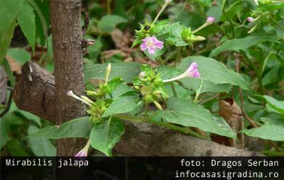 Trei plante anuale deloc pretentioase pentru gradina ta