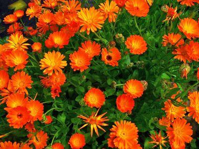 Cum cultivi galbenele - Calendula officinalis