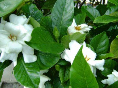 Probleme in cultivarea gardeniei (Gardenia jasminoides)