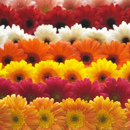 Gerbera - de la floarea soarelui la planta decorativa
