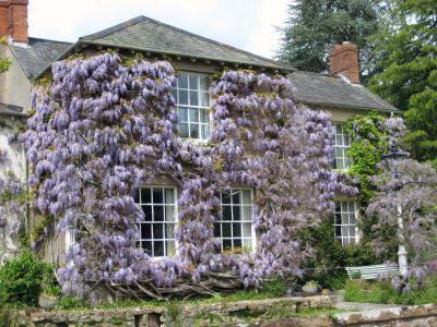 4 plante cataratoare perene pentru gradina ta