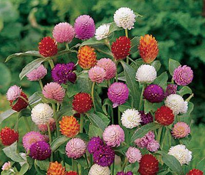 Gomphrena, planta cu flori de paie