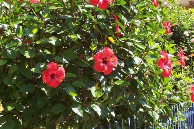 Conducerea trandafirului chinezesc sub forma de tufa