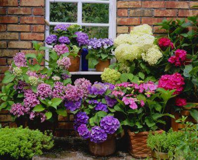 Perioada de repaus la hortensia cultivata in ghiveci