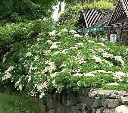Hortensia urcatoare, o ruda mai putin cunoscuta a hortensiei de gradina