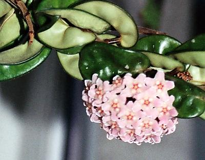 Hoya, floarea de ceara