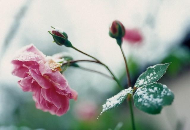 Cum se pregatesc trandafirii pentru iarna