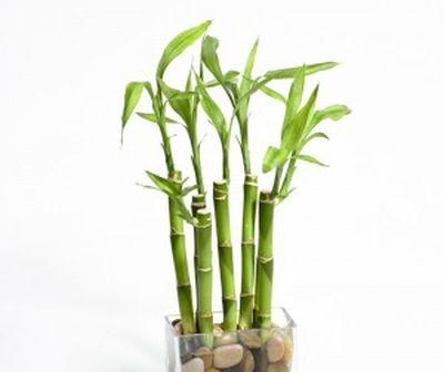 Cum se inmulteste bambusul norocos