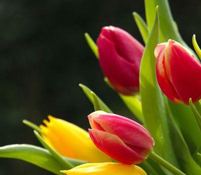 Laleaua, o floare cu o istorie interesanta