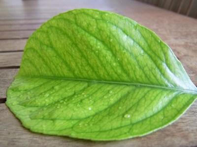 Bolile citricelor: ce deficiente arata frunzele?