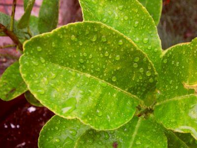 Daunatori si probleme la citricelor de ghiveci (lamai, portocali, mandarini)