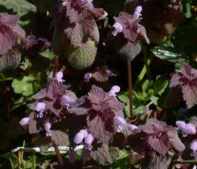 Buruieni elegante: Lamium purpureum