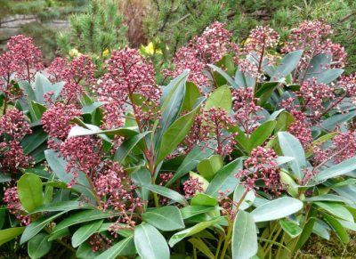 Liliacul japonez (Skimmia japonica)