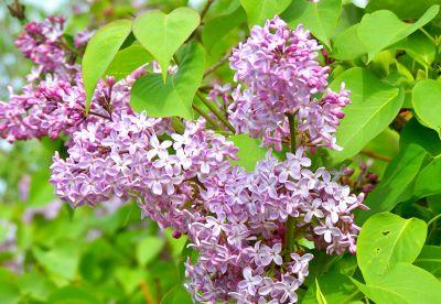 Flori de primavara: Liliacul
