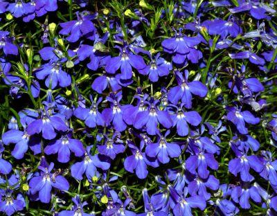 Lobelia – inmultirea prin seminte