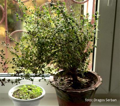 Maghiranul poate capata aspect de bonsai