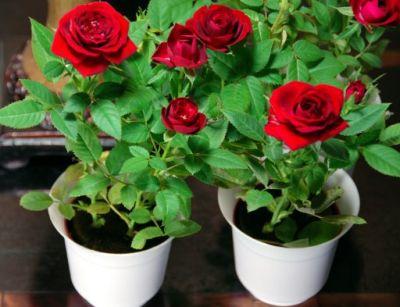 Cum se ingrijesc trandafirii pitici la ghiveci