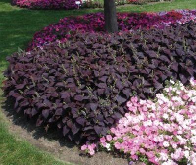 Specii de plante potrivite pentru realizarea unui mozaic in gradina