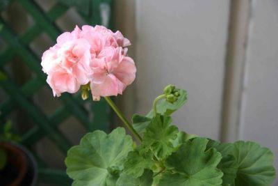 Ingrijirea si problemele plantelor de balcon