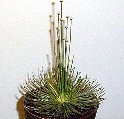 Plante exotice: cum se ingrijeste Mykado