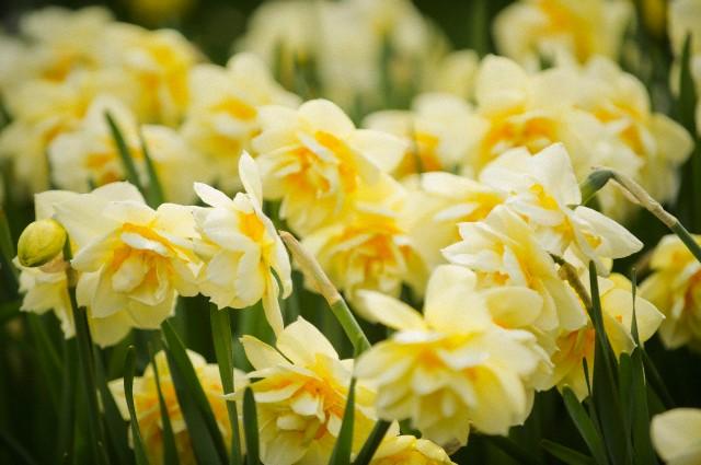 Narcisa se fertilizeaza in primavara