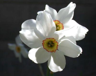 Flori de primavara: Narcisa (narcissus)