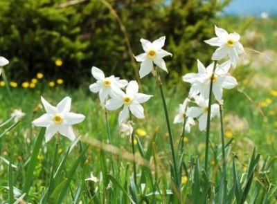 De vazut: Narcisele din Dumbrava Vadului, comuna Sercaia, judetul Brasov