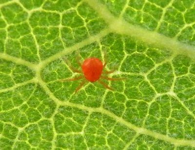Daunatorii plantelor: paianjenul rosu