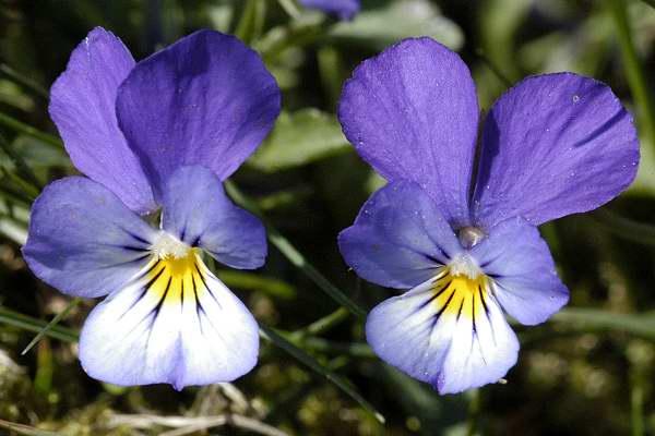 Panseluta (Viola tricolor) este sensibila la caldura