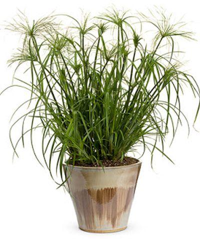 Cultivarea papirusului in apartament