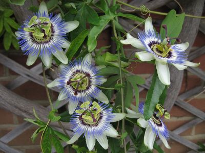 Specii de passiflora care se cultiva in apartament