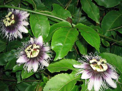 Cum se inmulteste Passiflora