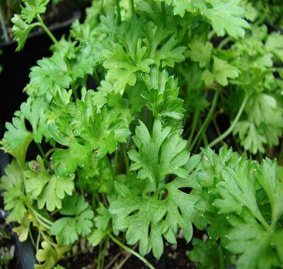 Patrunjelul, planta care vindeca peste 100 de boli