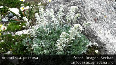 Flora stancariilor de pe platoul Bucegi