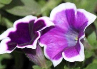 Specii de petunii pentru gradini insorite