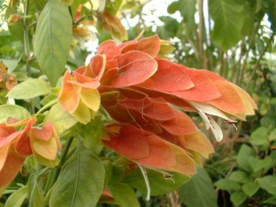 Planta crevete nu suporta temperaturile ridicate