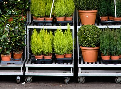 Aclimatizarea plantelor cumparate din magazin