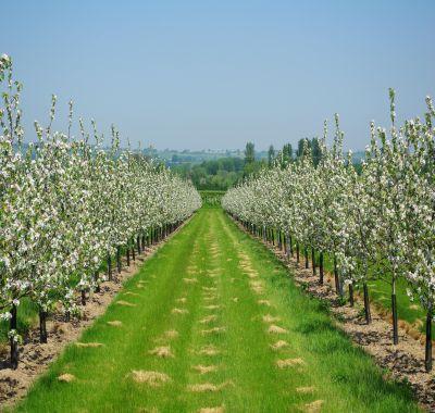 INFOGRAFIC: Taieri de primavara la pomii fructiferi