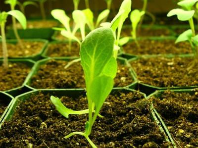Repicatul, obligatoriu pentru salata cultivata in spatii protejate incalzite