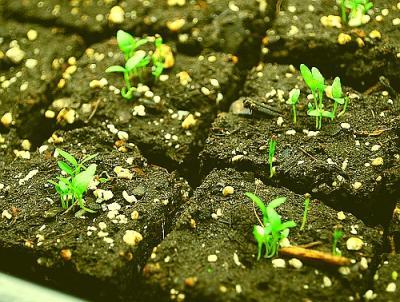 Telina, singura leguma radacinoasa care se cultiva prin rasad
