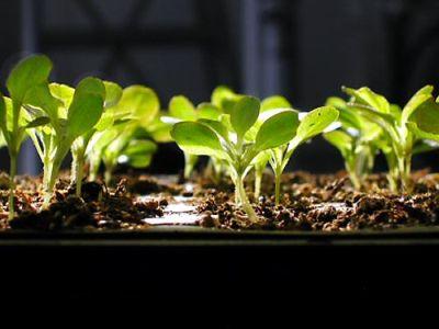 Mijloace ecologice de protejare a rasadurilor de legume