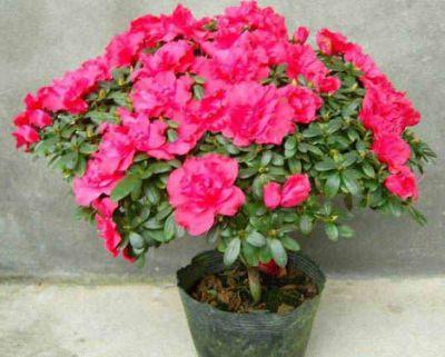Inflorirea fortara la Rhododendron