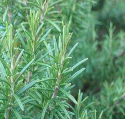 Rozmarinul: cultivare si ingrijire