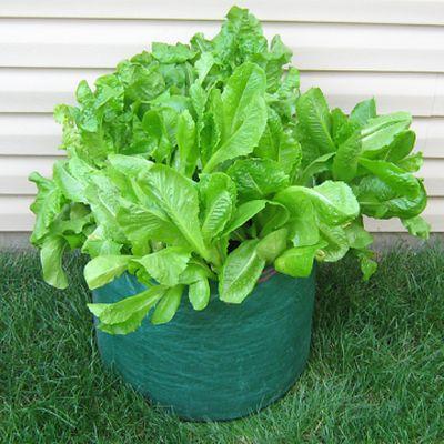 Cultivarea salatei in gradina sau in bidoane