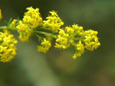 Cinci plante rustice pentru gradina ta