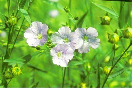 Combate constipatia cu seminte de in