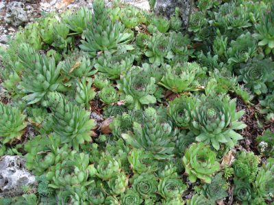 Sempervivum, planta suculenta perfecta pentru gradina