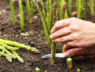 Cum se cultiva sparanghelul