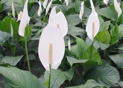 Spathiphyllum, crinul pacii